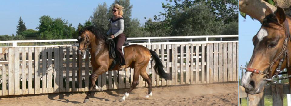 spanische Pferde, andalusier, PRE, spanischer hengst, zu verkaufen, andalusien, jerez de la frontera, sevilla, la cartuja, real escuela, pura raza espanol, barocker hengst, Sabine Wesseln, Maras World of Horses, Traumpferde, PRE, stallion, for sale, horses, horse, dressage, campaneo, spain, andalusia, spanish horse, tordo, riding, baroque andalusian, Cartujano, Carthusian