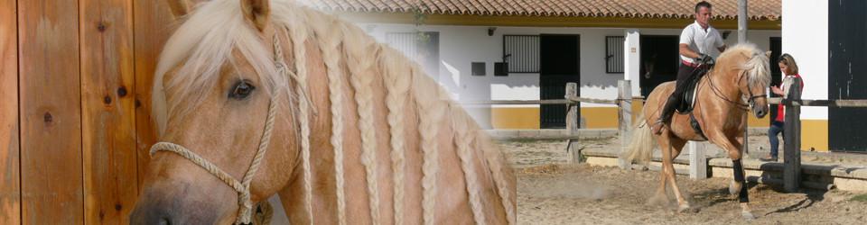 PRE, Andalusier, Palomino, Hengst zu verkaufen