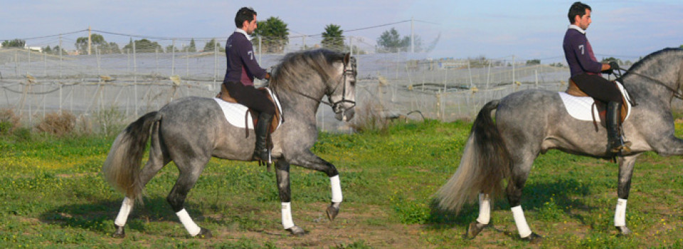 spanische Pferde, andalusier, PRE, spanischer hengst, zu verkaufen, andalusien, jerez de la frontera, la cartuja, real escuela, pura raza espanol, barocker hengst, Sabine Wesseln, Maras World of Horses, Traumpferde, PRE, stallion, for sale, horses, horse, dressage, campaneo, spain, andalusia, spanish horse, baroque andalusian, Cartujano, Carthusian, Real Escuela Andaluza del Arte Ecuestre Jerez, Königliche Reitschule Jerez, caballo espanol, caballo pura raza andaluza