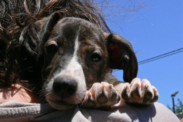 Sharyti spanische Hunde suchen ein Zuhause
